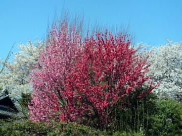 3種類の桜