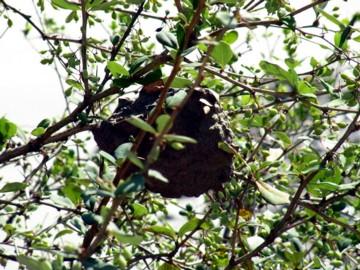 木の上の巣